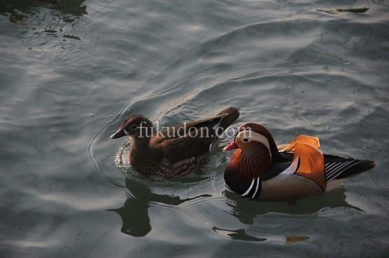 mandarin-duck-416290_640