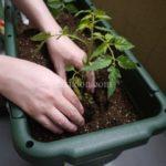 ベランダ菜園始めました。初めてなのに大玉トマトにチャレンジしてみたよ♪